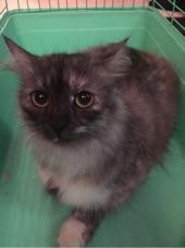 قطة امريكية حامل بيع مستعجل