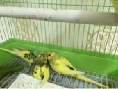 للبيع طيور زينة - بادجي - البيع سمح
