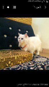 قطة شيرازية جميله للبيع (واتس آب فقط)
