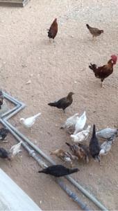 دجاج للبيع عاجل