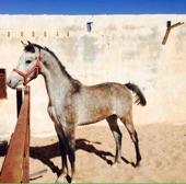 حصان مميز ومعسوف  ( يوجد حد )