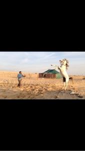 حصان عربي جزيري اصيل