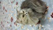 قطط شرازيه صغار