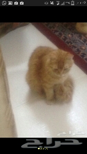 قطط شرازي أصلي للبيع