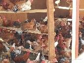 مشروع دجاج بلدي بشاير