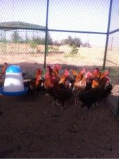 ديوك ودجاج للبيع عمر ستةشهور