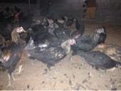 يوجد دجاج بلدي3شهور و27 يوم تقريبا