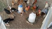 ديوك ودجاج وبط للبيع جمله