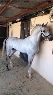 حصان عربي شعبي جميل