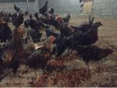 يوجد دجاج بلدي4شهور  تقريبا العدد 150 حبه