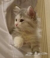 للبيع قطة انثى شيرازي ب 1400
