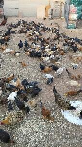 دجاج للبيع .حائل