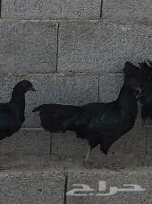 طقم دجاج سومطرة للبيع
