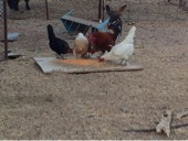 دجاج للبيع نظيف جدا وسليم من الامراض