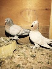 جوز صنعاوي تحته فرخين رديوس