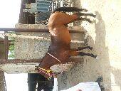 حصان شعبي طيب