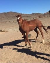 حصان سبق للبيع