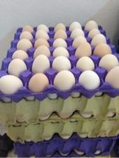 بيض دجاج لتفقيس والاكل طازج