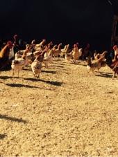 دجاج بلدي بياض وحجام تملي العين