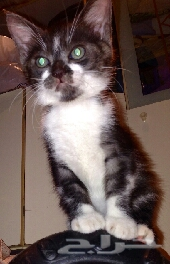 للبيع 3 قطط رومي بالمطقه الغربيه