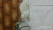 قطط منتجين شيرازي
