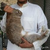 ارانب اوروبية عملاقة  بطاريات ارانب