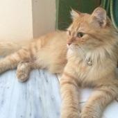 قطه شيرازيه جميله والبيع قريب