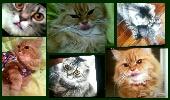 زوج قطط للبيع بجدة  2cats for sell in Jeddah