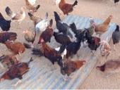 تصفيه للبيع دجاج بلدي بياض