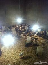 مشروع دجاج للبيع