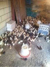 صوص دجاج فيومي للبيع