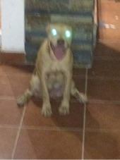 كلب بيتبول للبيع بسعر مغري