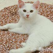 قطة شيرازي امريكية