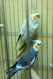 للبيع مجموعه طيور . كروان و بادجي هولاندي وإنجليزي
