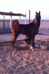 للبيع حصان بلش صافي خط جمال