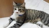 قطة أمريكية جميلة وأليفة للبيع