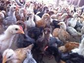 فروخ دجاج بلدي بعمر شهر