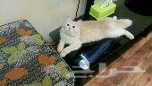 قطه شيرازي للبيع لون سكري