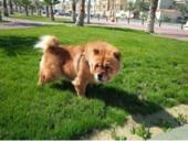 كلب الشاو شاو للبيع