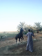 حصان ابوه عربي ومه شعبيه لبيع