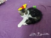قطة شيرازي اميركية 3 شهور