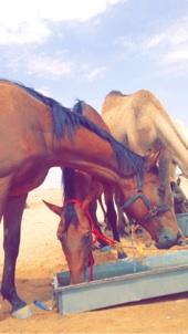 للبيع خيول رخيصة مقارنة بسعرها