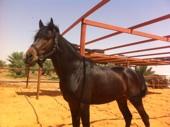 حصان شعبي ادهم كميت للبيع
