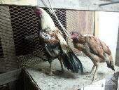 دجاج باكستاني زوج سندي و زوج مياوالي