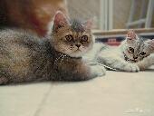 قطتين للبيع بجدة .