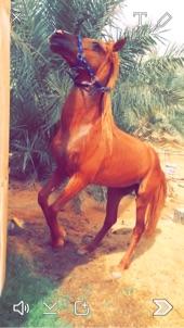حصان شعبي للبيع