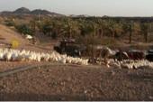 مزرعه باالمدينه المنوره -الصويدره تبعد عن المدينه 60ك للاستثمار فرصه ممتازه مساحتها 31900م قريبه جدآ