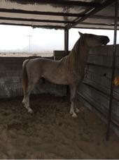 حصان شيخ شعبي بالمدينة المنورة