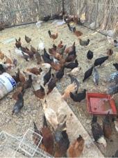 دجاج بشاير عدد 50جوز
