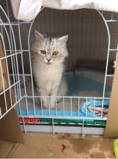 قطة انثى شيرازية منتجة للبيع